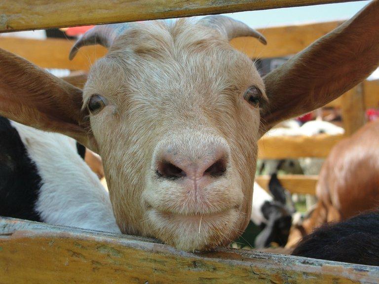 goat-115845_1920.jpg
