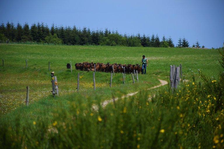 Chèvres sur le plateau