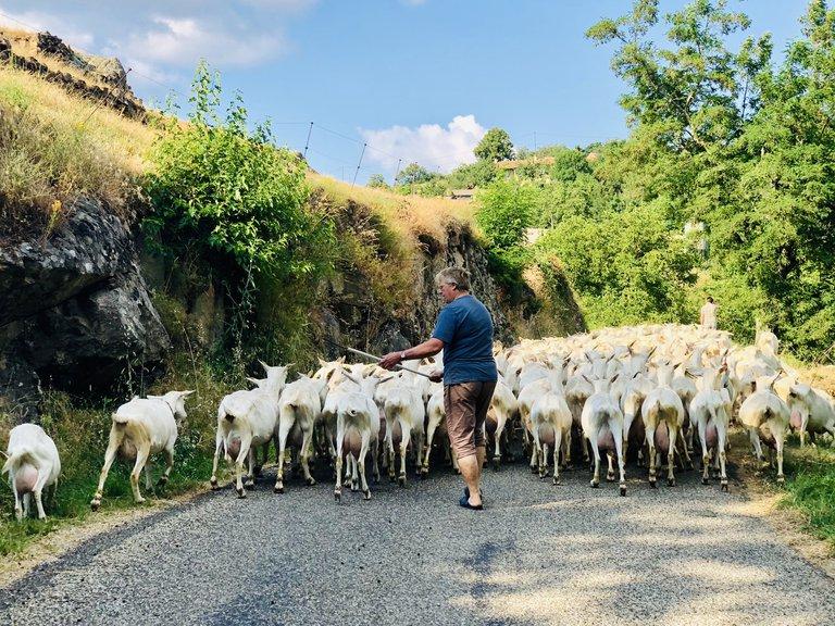 ©transumance chèvres - juillet 2018 - Sophie Laurent.jpg